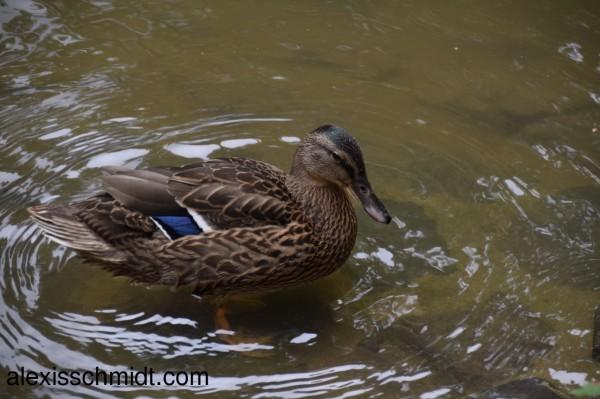 duck-nidda