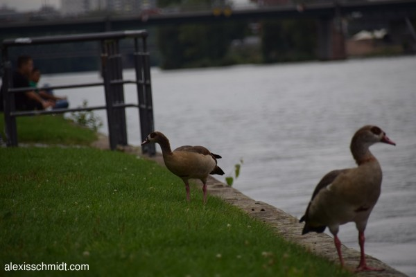egyptian-goose-before