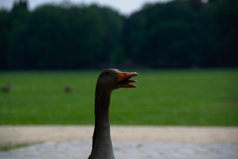 Aggressive Goose