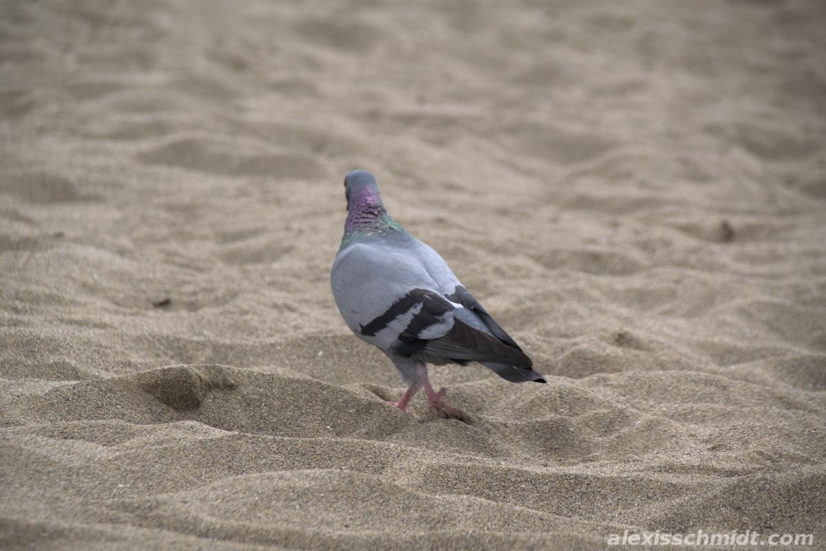 Pigeon on the Beach in Las Canteras, Gran Canaria