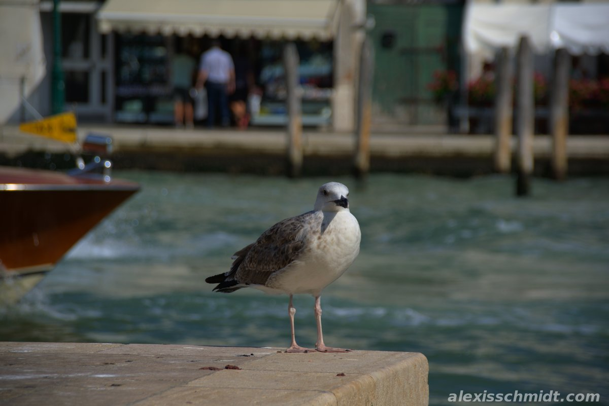 Seagull at the Canal Grande in Venice, Italy