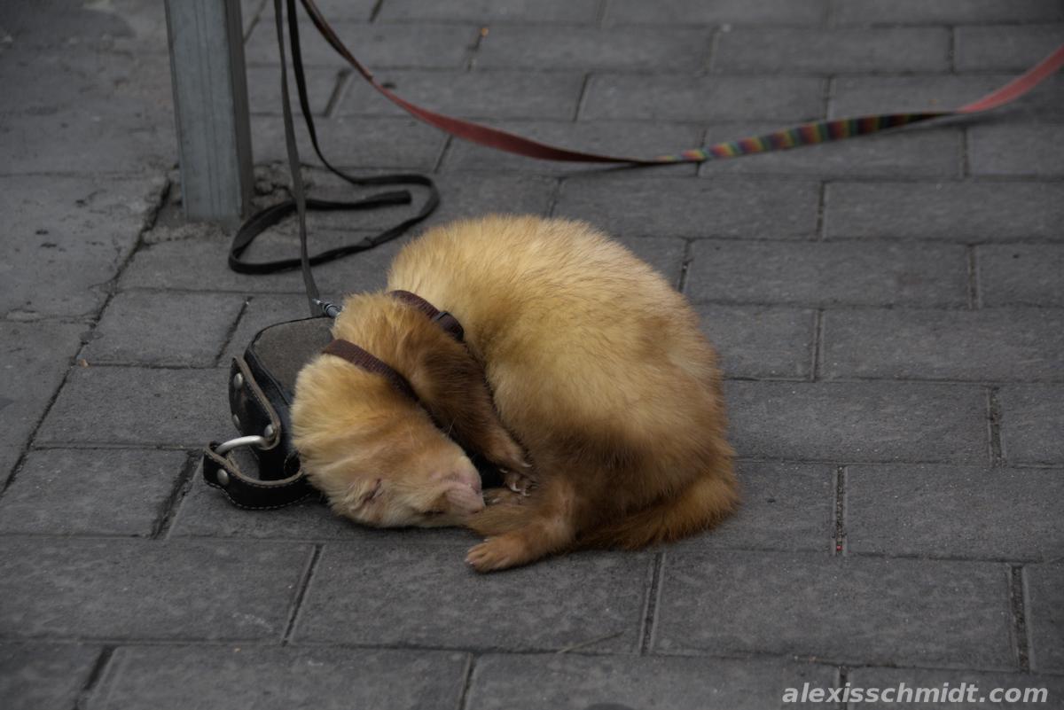 Sleeping Ferret in Las Palmas