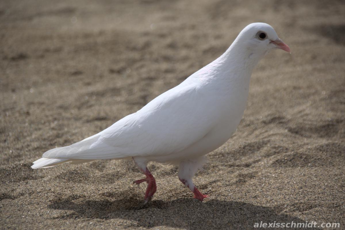 White Pigeon on the Beach in Las Canteras, Gran Canaria