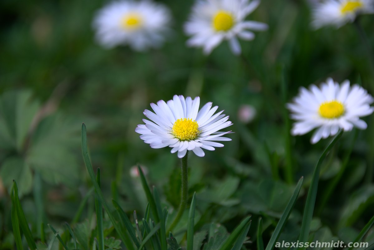 Daisy Flowers (Bellis Perennis) in Solms Park, Frankfurt, germany