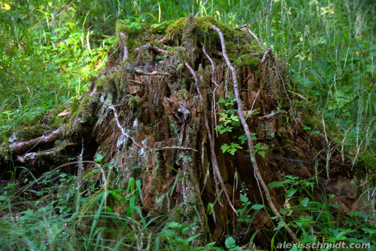 Moss Covered Tree Stump in the Forest