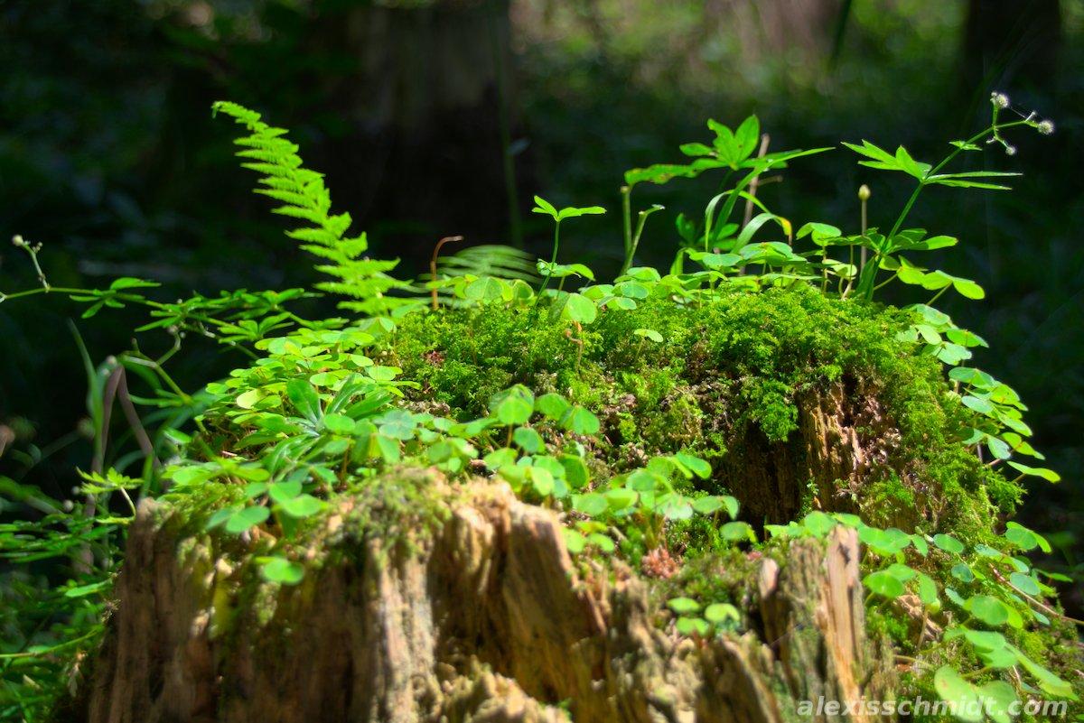 Moss covered tree stump in the Forest  near Garmisch Partenkirchen