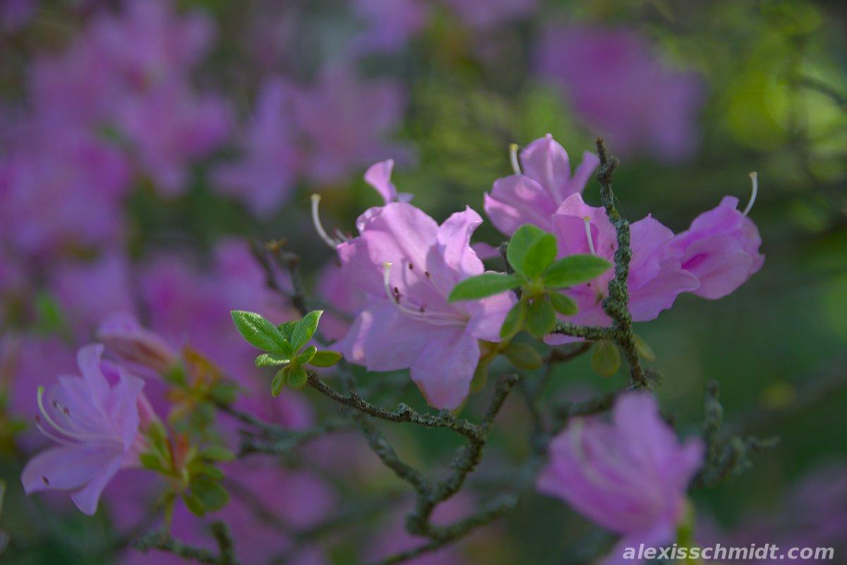 Pink Flower in Bethmannpark, Frankfurt, Germany