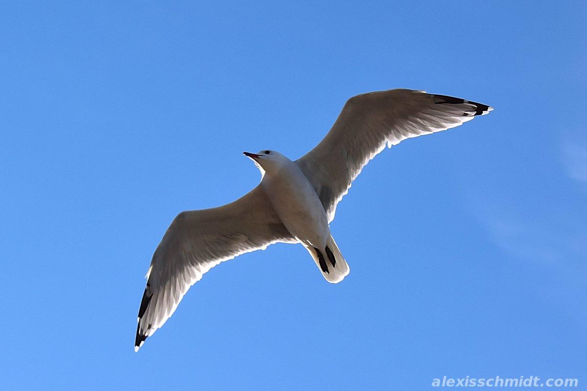 Seagull in Playa de Muro, Mallorca, Spain