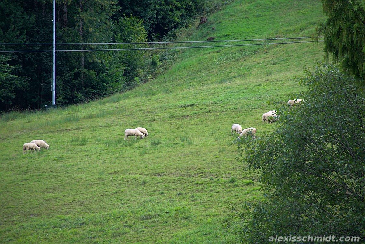 Sheep in Garmisch-Partenkirchen, Germany