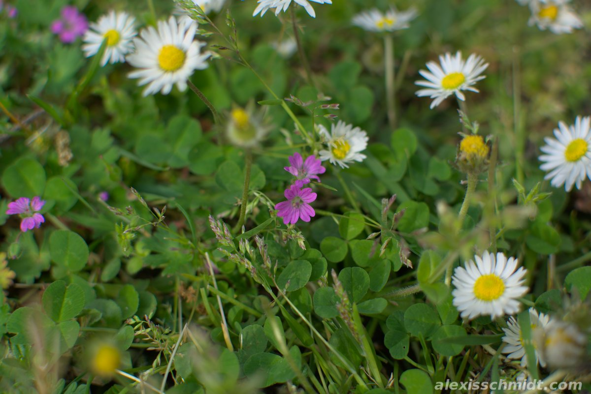 Very small Purple Flowers surrounded by Daisies in Ostpark, Frankfurt, Germany