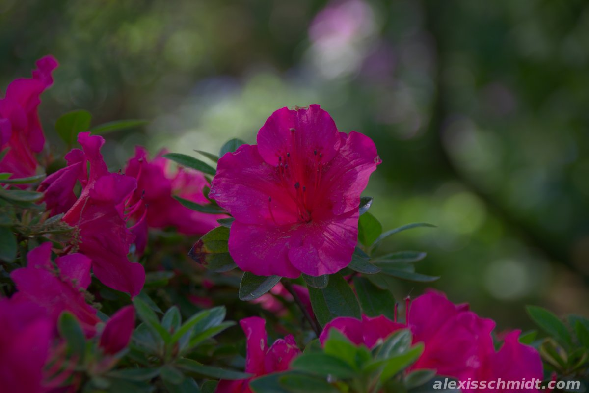 Pink Blossoms in Bethmannpark, Frankfurt, Germany