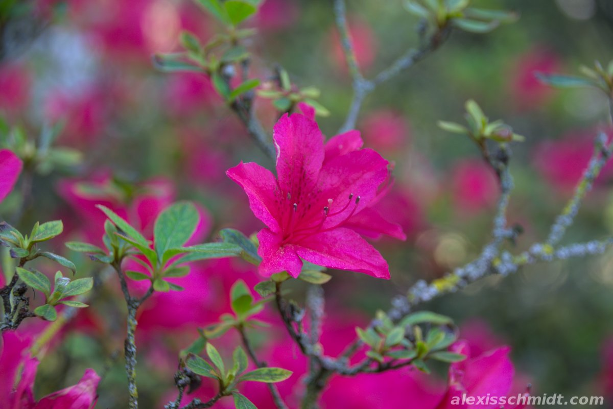 Pink Flowers in Bethmannpark, Frankfurt, Germany
