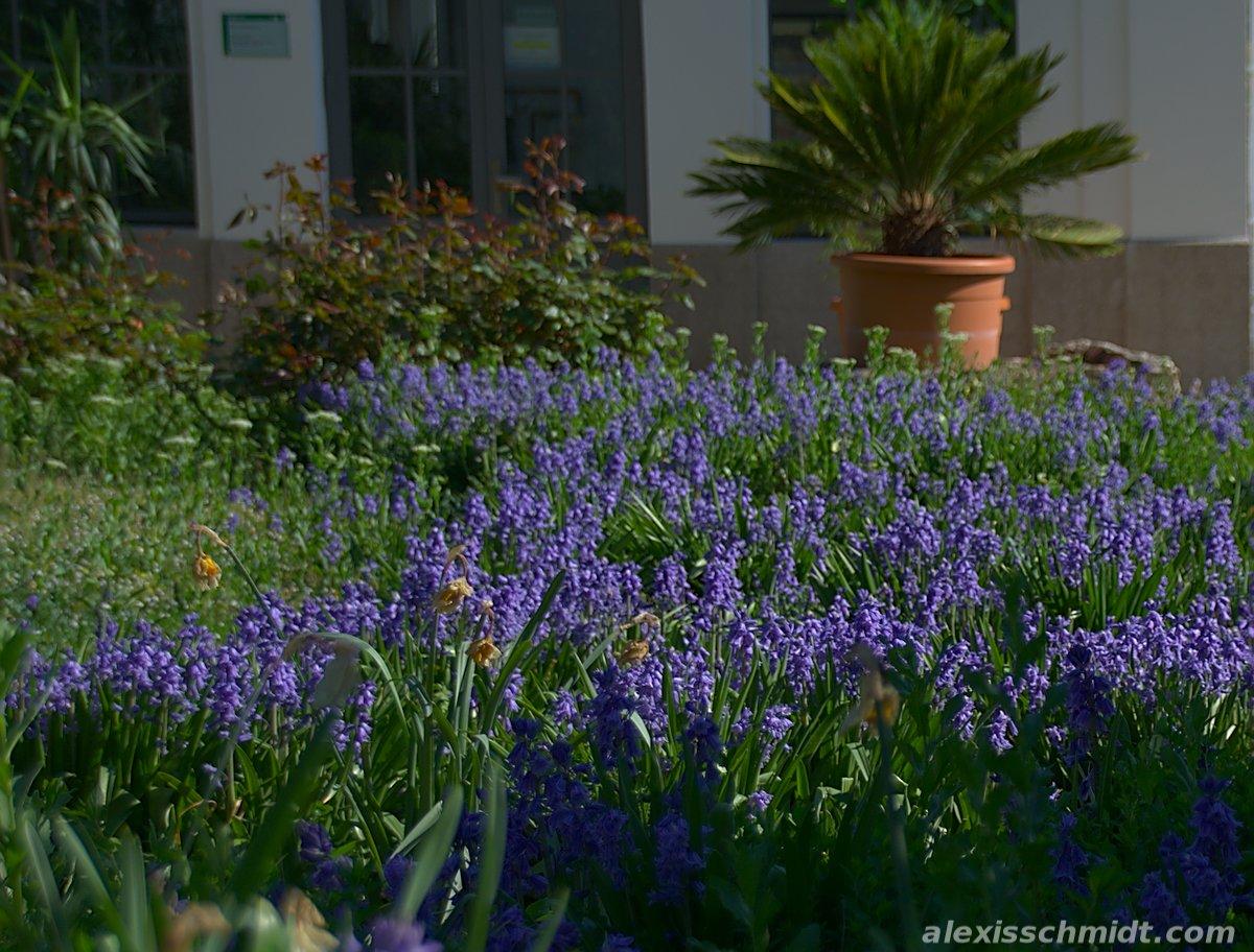 Purple Plants in Bethmannpark, Frankfurt, Germany
