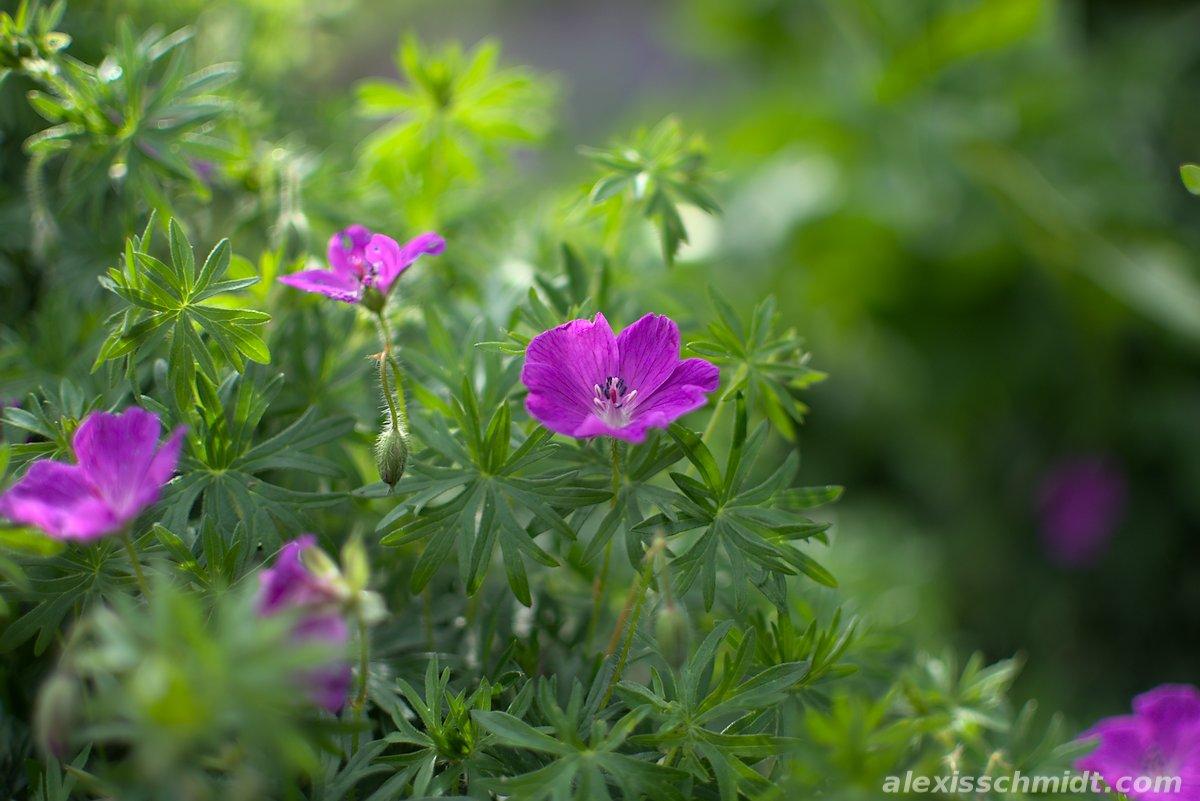 Plant with Purple Blossom in Ostpark, Frankfurt, Germany