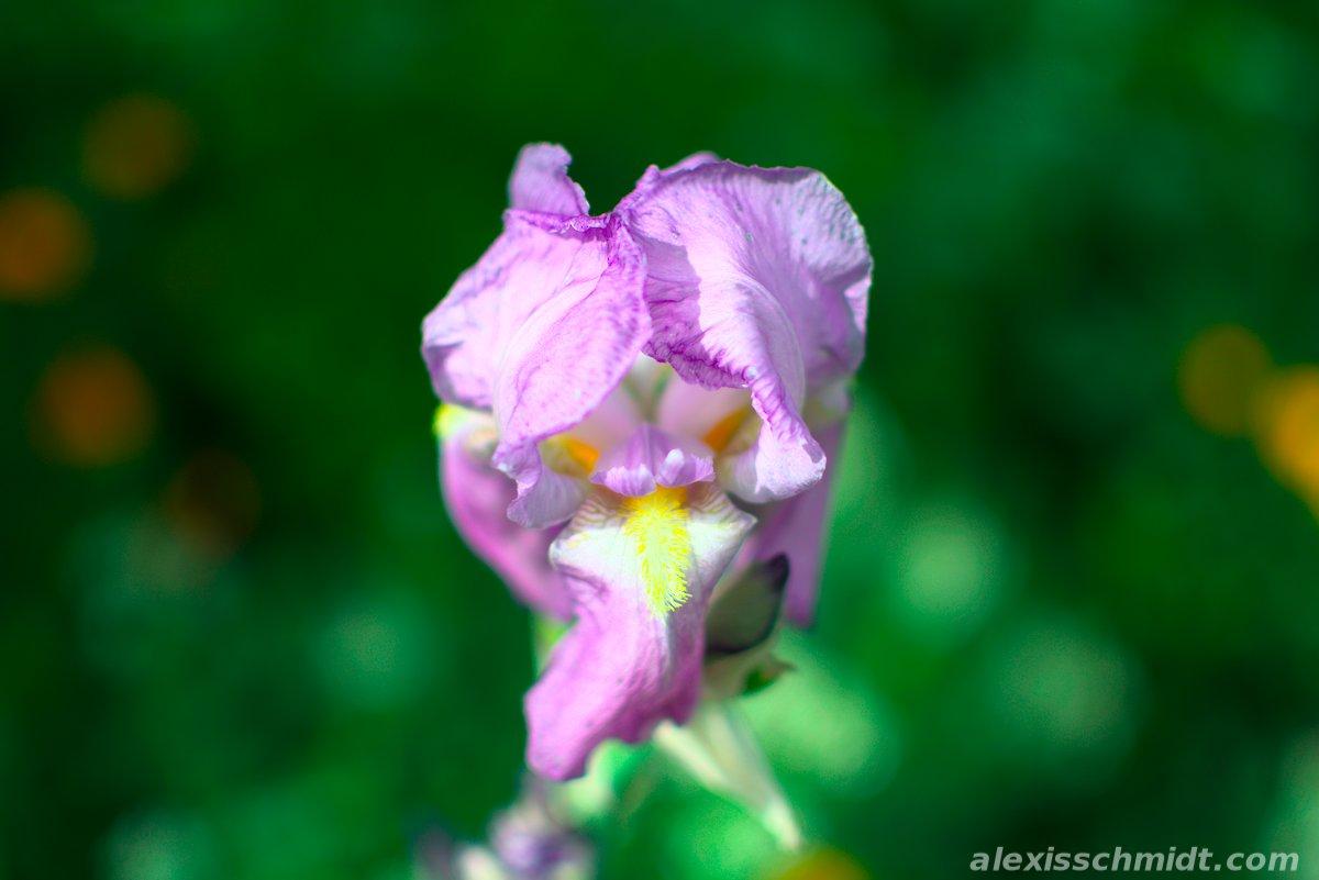 Purple Flower in Ostpark Frankfurt, Germany