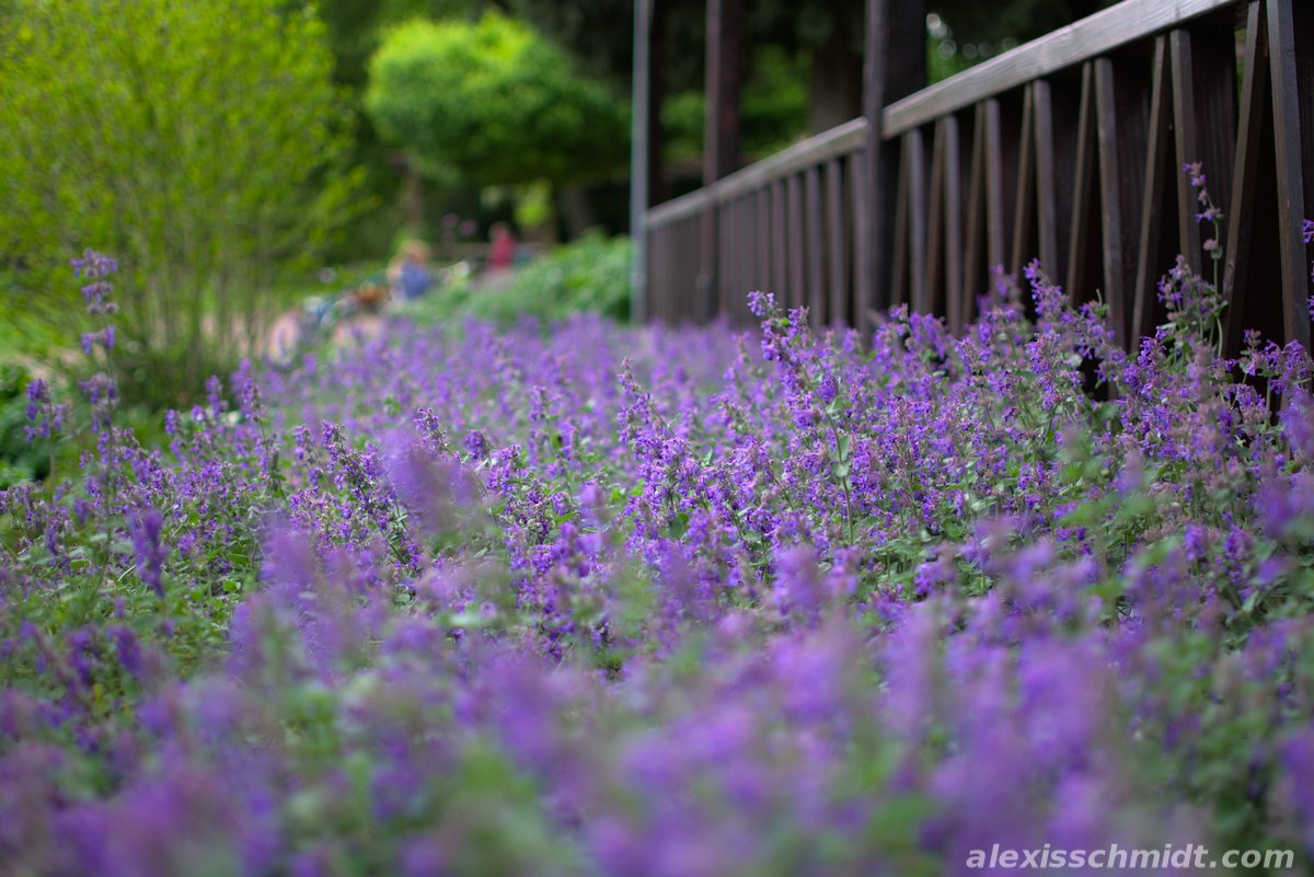 Purple Flower Bed in Ostpark Frankfurt, Germany