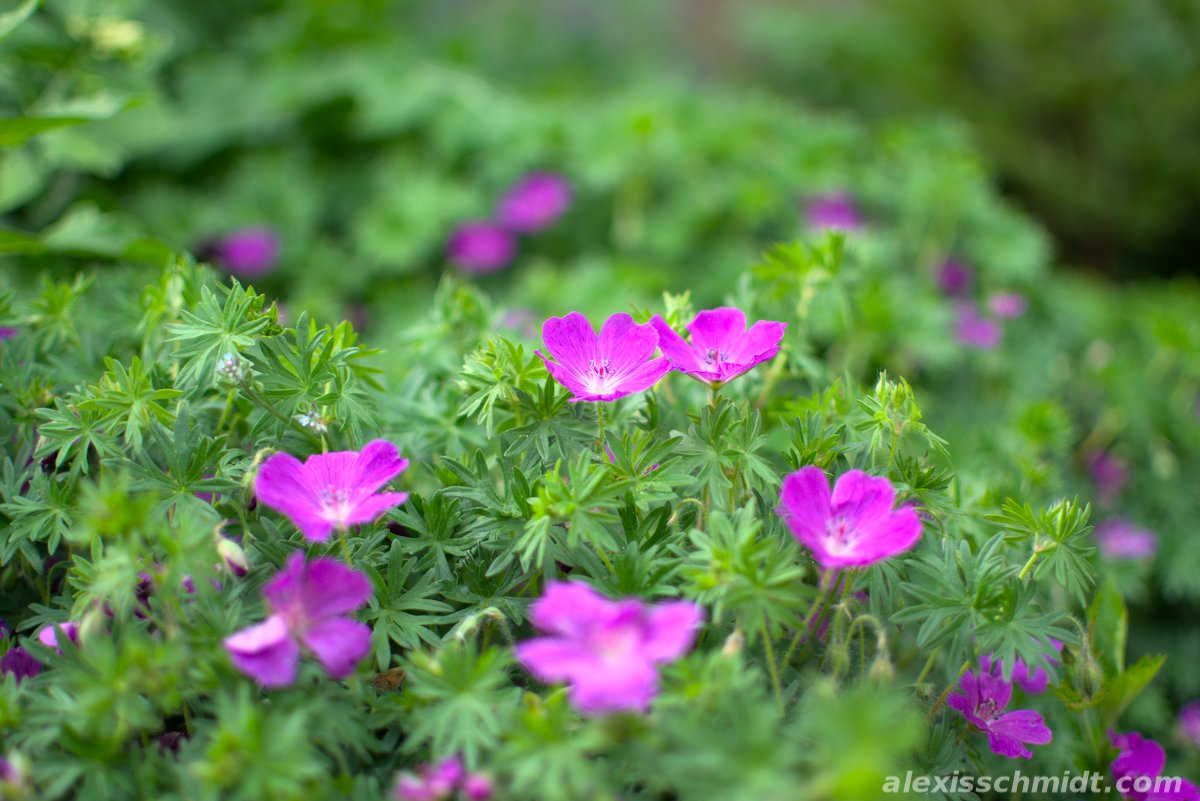 Purple Flowers in Ostpark, Frankfurt, Germany