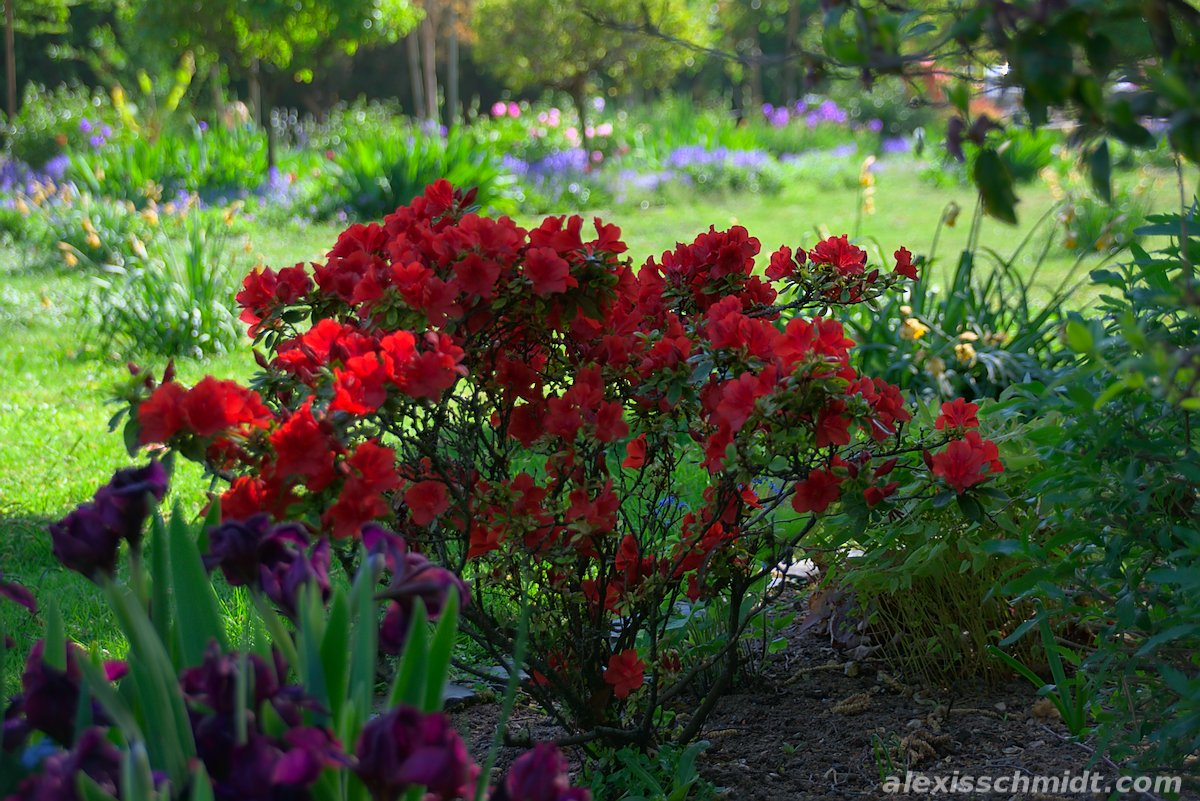 Red Flowers in Bethmannpark, Frankfurt, Germany