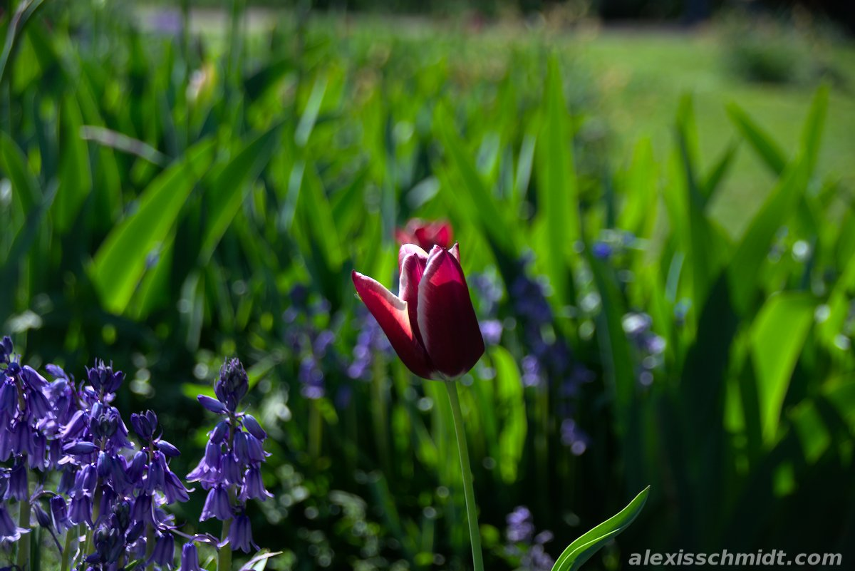 Red White Tulip in Bethmannpark Frankfurt, Germany