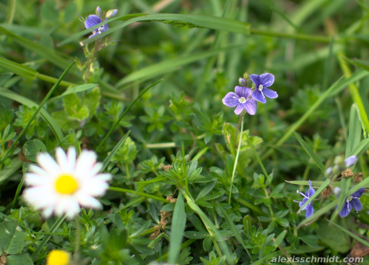 Tiny Purple Flowers and a Daisy