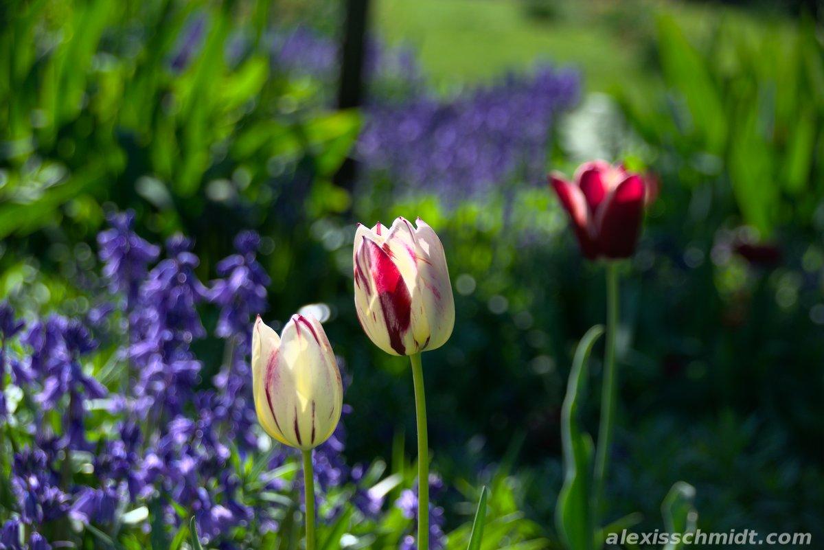 White Purple Tulips in Bethmannpark, Frankfurt, Germany
