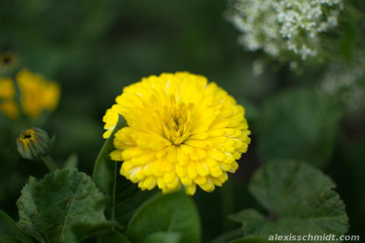 Yellow Flower in Ostpark, Frankfurt, Germany