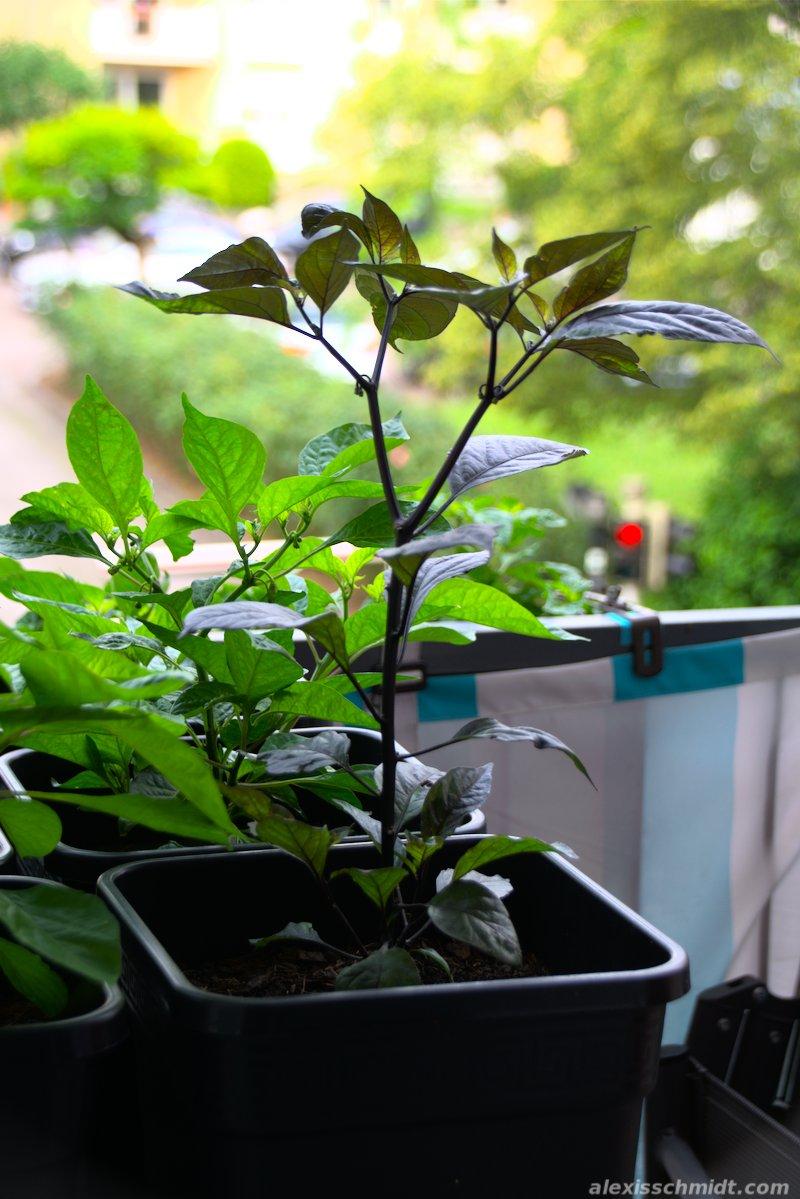 Pimenta da Neyde Chili Pflanze