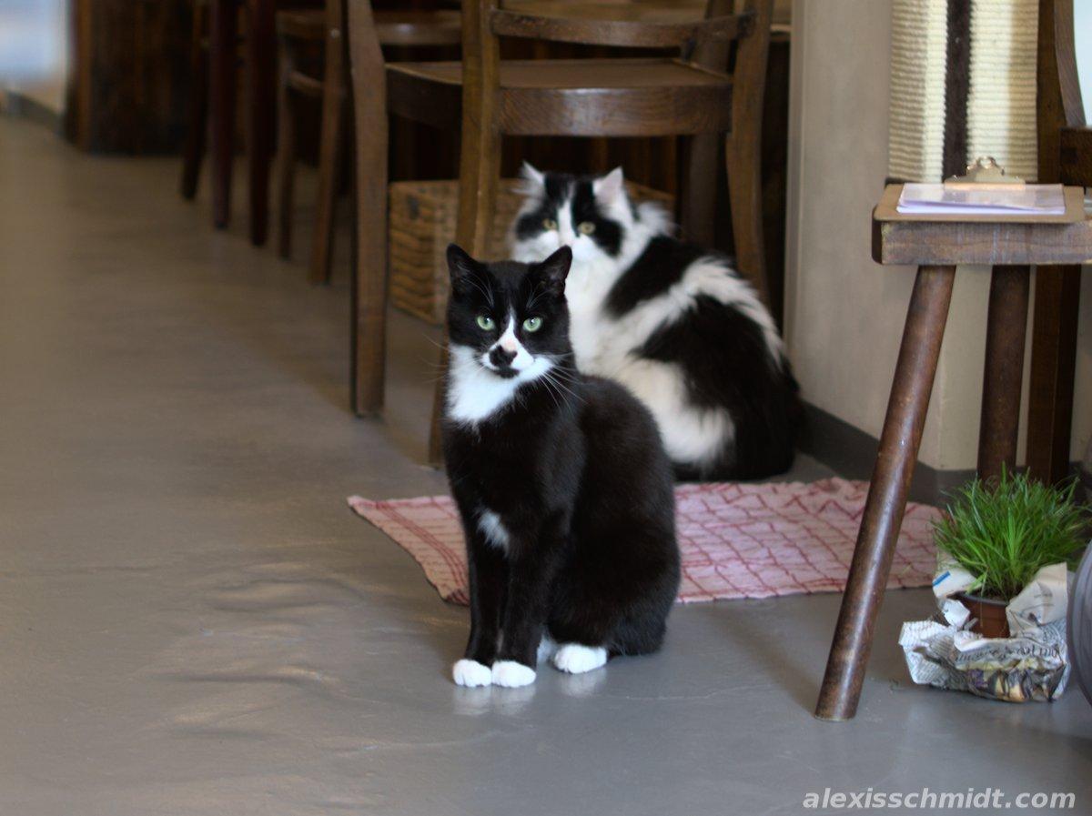 Cats in Katzencafé Aachen Milou
