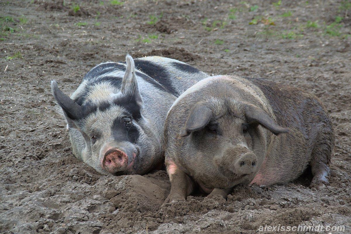 Glückliche Schweine in Texel, Niederlande