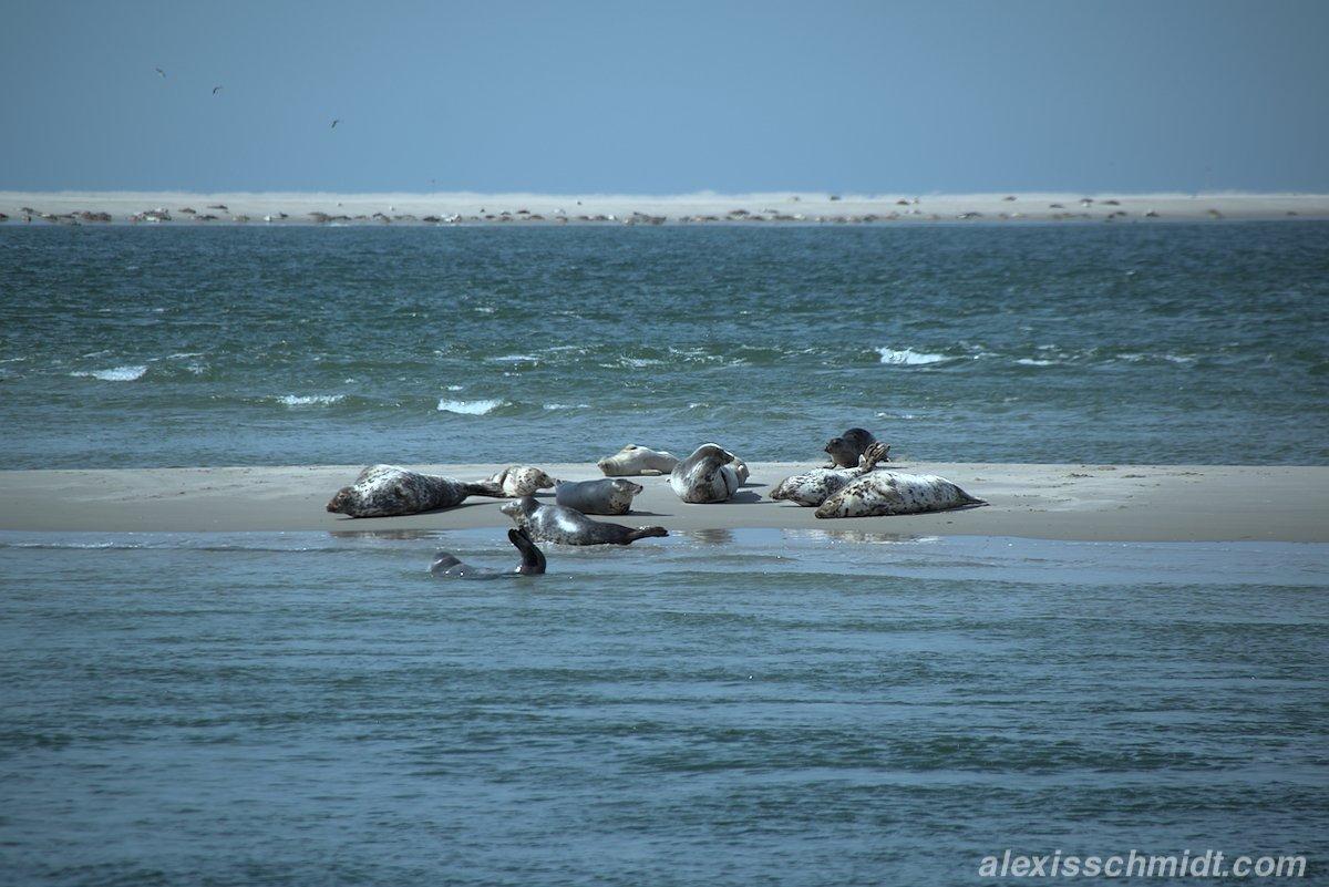 Seehunde auf Razende Bol