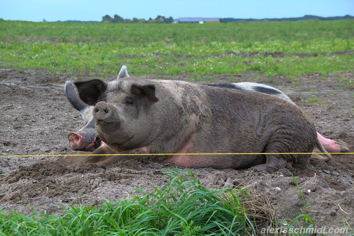 Glückliche Schweine auf einer Wiese in De Cocksdorp, Texel, Niederlande