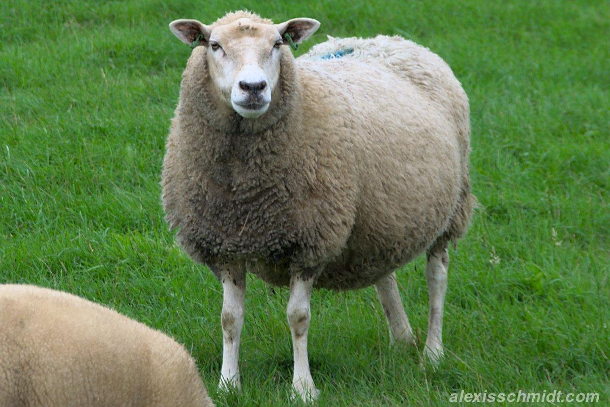 Schaf auf Texel, Niederlande